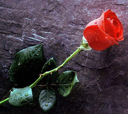 розы скачать фото