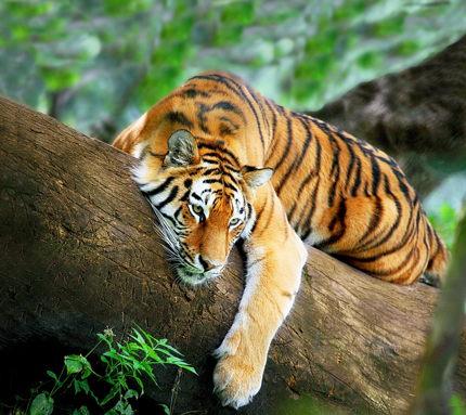 Тигры оскал картинки (51 фото) скачать обои.