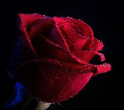 Картинка rose with love (роза с любовью) 480x800 / скачать обои на.